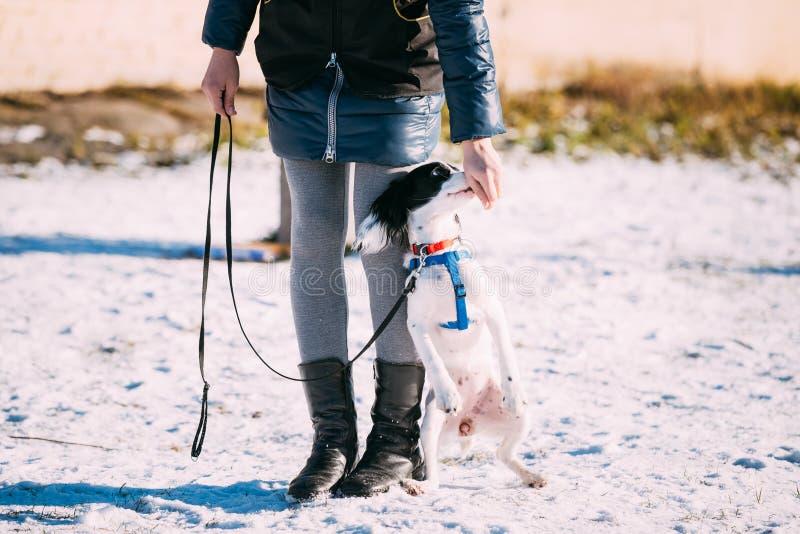 Den ryska spanielhunden hoppar nära ägare under fotografering för bildbyråer