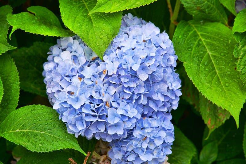 Den sällsynta blåa bollblomman arkivbild