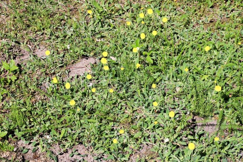 Den sällsynta gula svaga första hämmade maskrosen planterar blommor växer på grönt gräs Bakgrund texturerar arkivfoton