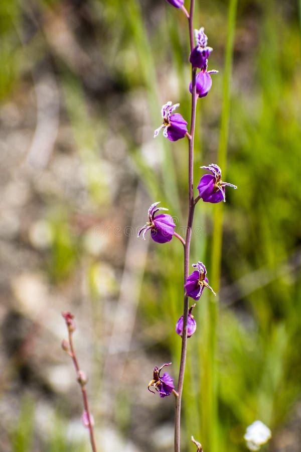 Den sällsynta mest härliga juvelblomman (Streptanthus albidusssp peramoenus) som blommar i kullarna av södra San Francisco Bay om royaltyfria foton