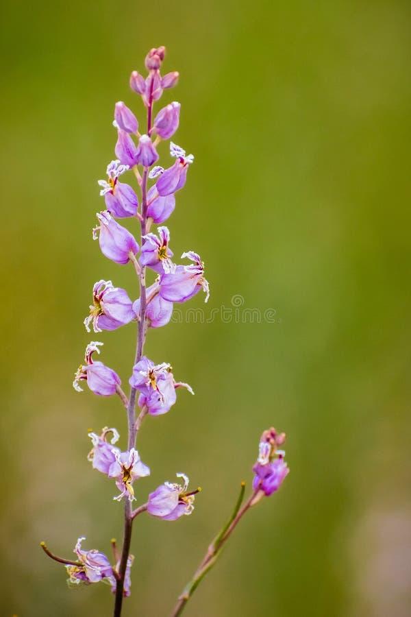 Den sällsynta mest härliga juvelblomman (Streptanthus albidusssp peramoenus) som blommar i kullarna av södra San Francisco Bay om arkivbild