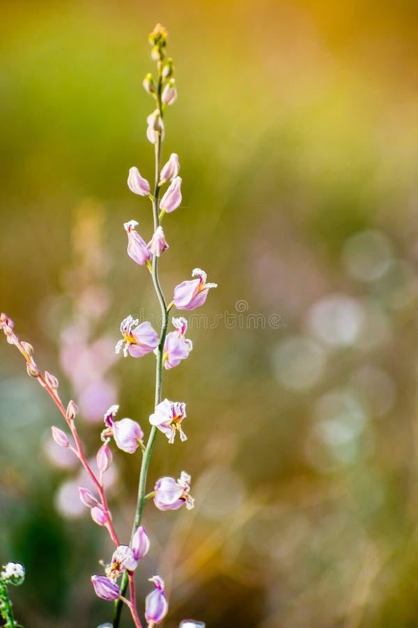 Den sällsynta mest härliga juvelblomman (Streptanthus albidusssp peramoenus) som blommar i kullarna av södra San Francisco Bay om royaltyfri bild