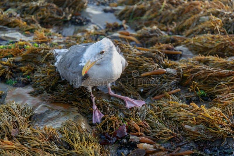 Den sårade västra fiskmåsLaruscalifornicusen sätta sig på den steniga kustlinjen arkivfoton