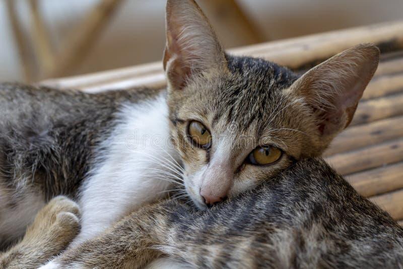 Den sömniga kattungen ligger på sibling Drömma kattståendefotoet Fridsam kattfamilj som vilar på tabellen Asiatisk bykatt arkivfoton