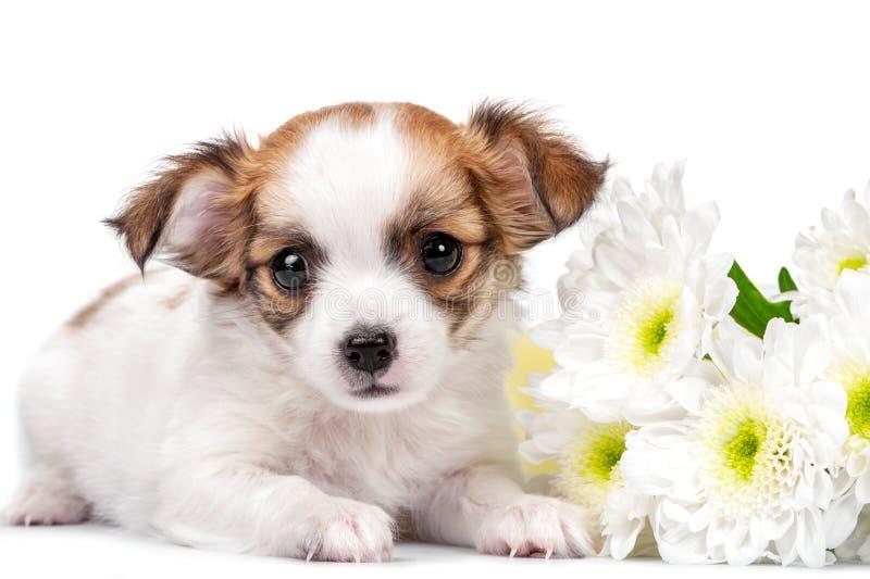 Den söta Chihuahuavalpen med krysantemum blommar närbild som isoleras på vit arkivfoto