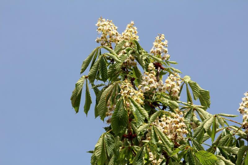 Den söta kastanjen eller den sativa väsentligheten för Castanea bodde länge det lövfällande trädet med avlånga lanceolate fett ta arkivfoto