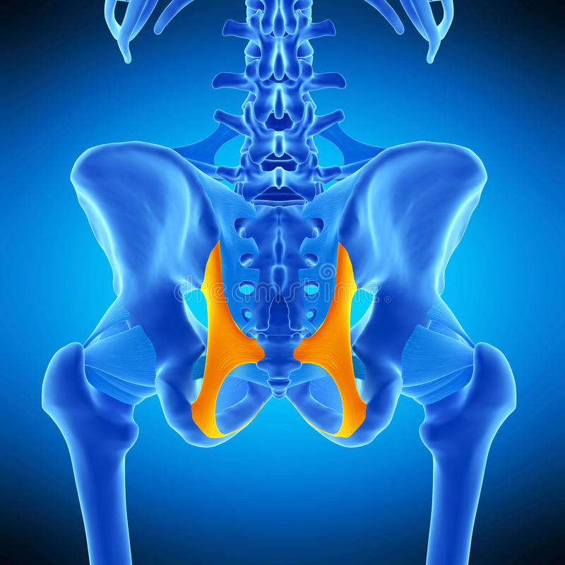 Den sacrotuberous ligamentet stock illustrationer