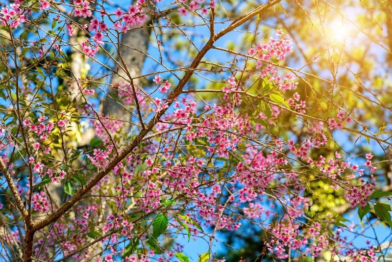 Den Sakura blomningvåren blomstrar rosa blommor fotografering för bildbyråer