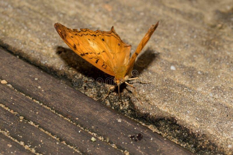 Den sammanlagda och främre sikten av en julia stapplar fjärilen med halvöppna vingar på en stenjordning som fotograferas i en bur royaltyfri foto