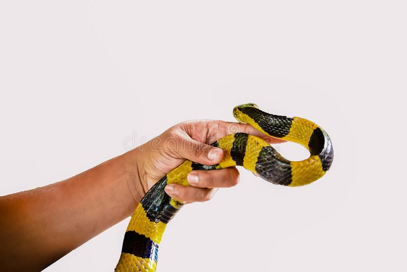 Den satte band Krait ormen isolerade arkivfoto