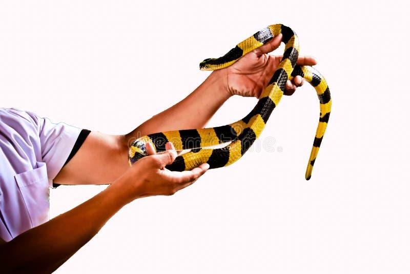 Den satte band Krait ormen isolerade royaltyfri bild