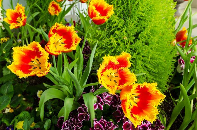 Den satte fransar på guling-röda tulpan blommar i trädgården royaltyfri bild