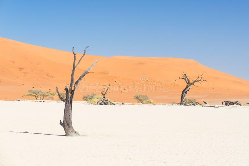 Den sceniska Sossusvleien och Deadvleien, lera och saltar pannan med flätade akaciaträd som omges av majestätiska sanddyn Namib N arkivbild