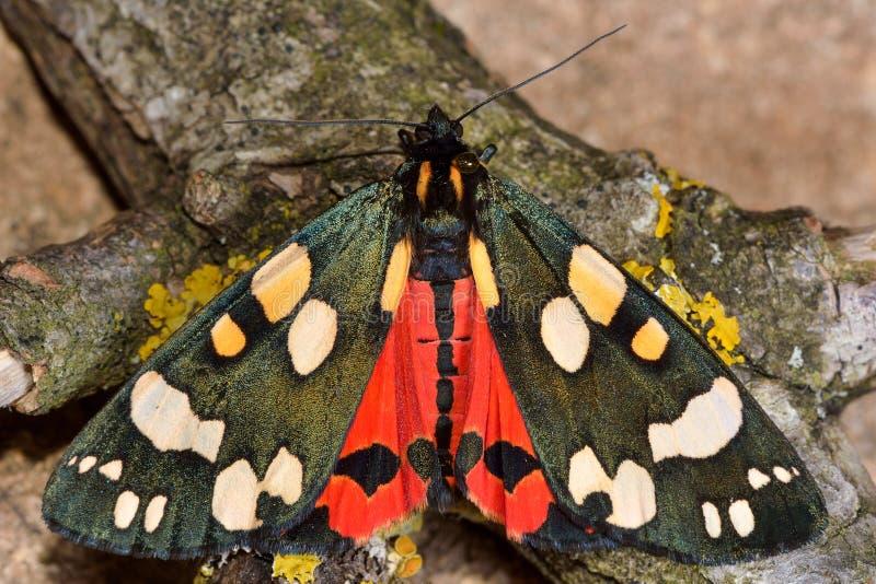Den scharlakansröda tigermalen (Callimorphadominula) med vingar öppnar och synliga röda hindwings royaltyfri foto