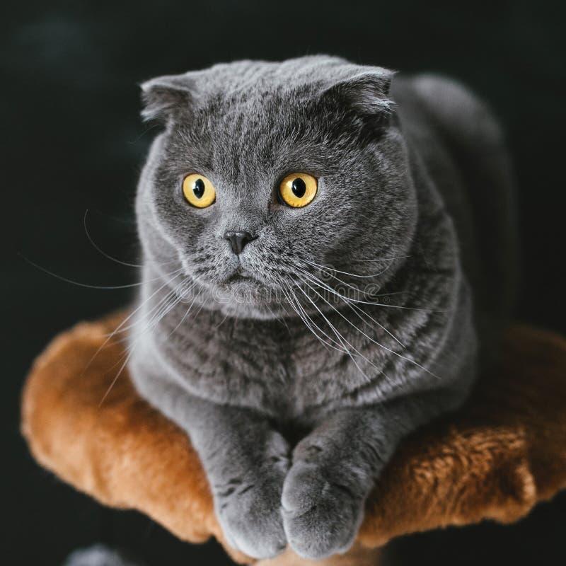 Den Scots slokörade gråa katten med stor guling synar närbild på en svart bakgrund arkivfoto