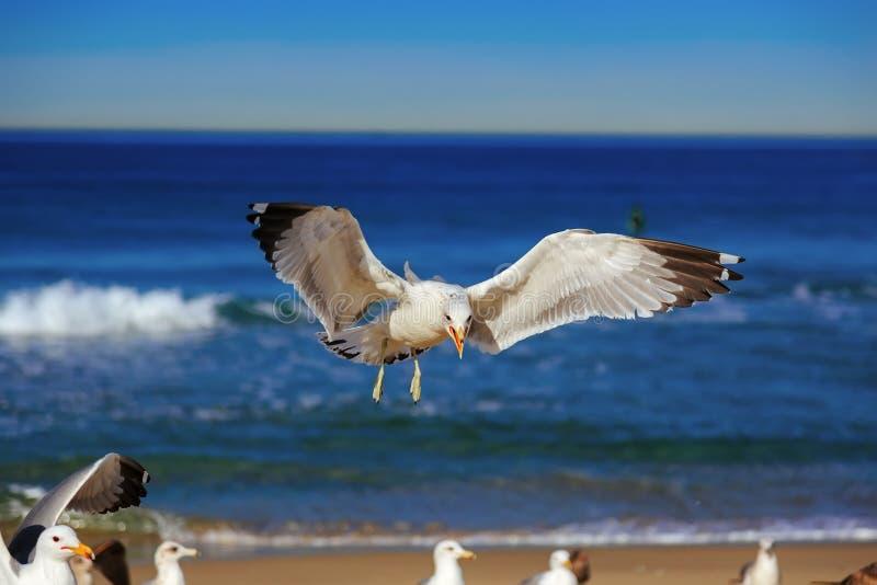 Den Seagullflyget och gråt på hermosaen sätter på land fotografering för bildbyråer