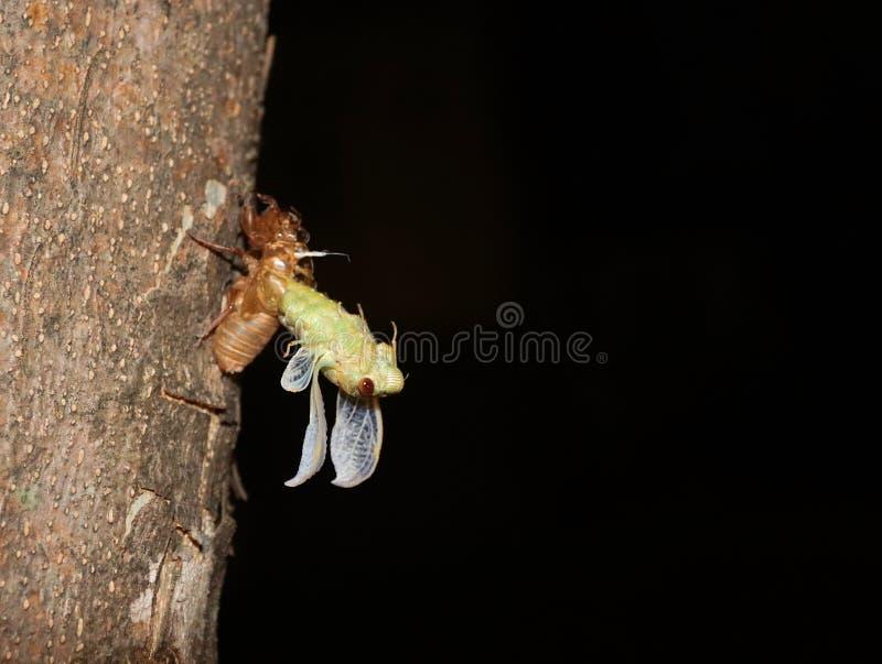 Den selektiva fokusen av en cikada får ut ur ruggningen royaltyfri fotografi