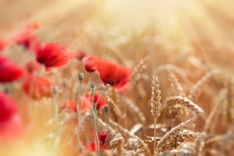 Den selektiva fokusen på vete, vetefält och röda vallmoblommor tände vid solstrålar royaltyfri bild