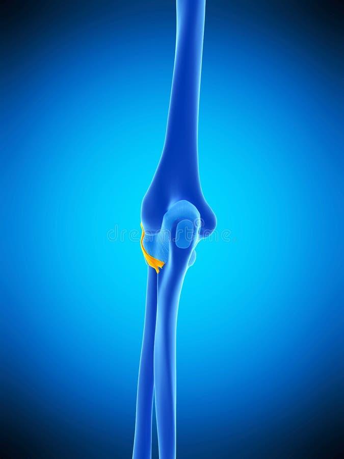 Den senare radiocollateral ligamentet stock illustrationer