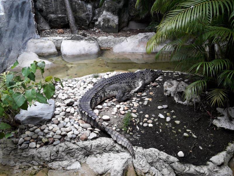 Den Siamese krokodilen royaltyfria foton