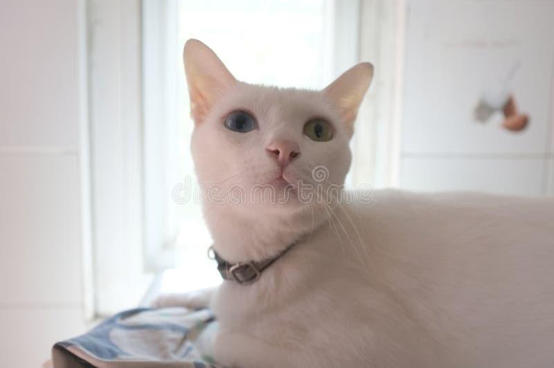 Den Siamese rena vita kattframsidan De udda ögonen för katten har ett guld- öga och en blått ett Gulligt djur för begrepp royaltyfri fotografi