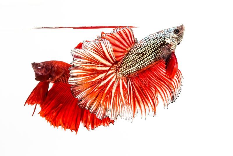 Den Siamese stridighetfisken, Betta Fish arkivfoton