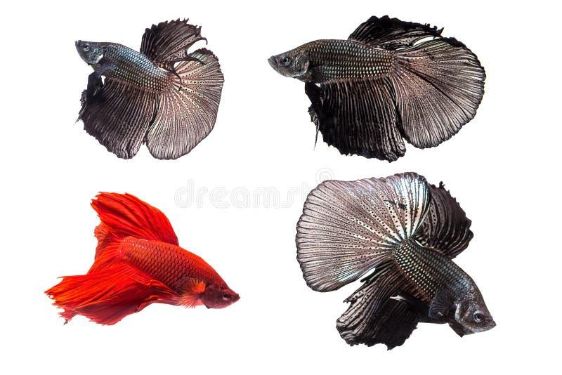 Den Siamese stridighetfisken, Betta Fish arkivfoto