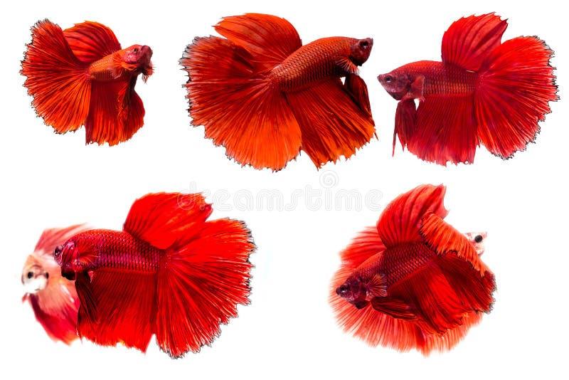 Den Siamese stridighetfisken, Betta Fish royaltyfri bild
