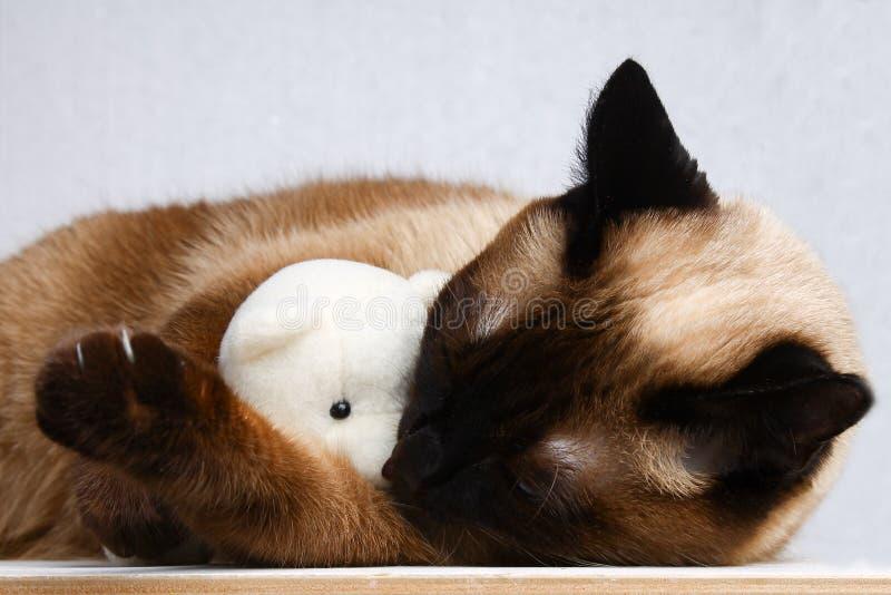 Den Siamese thailändska katten spelar med en nallebjörn Jordluckrare tänder, agression Han sover med en leksak royaltyfri bild