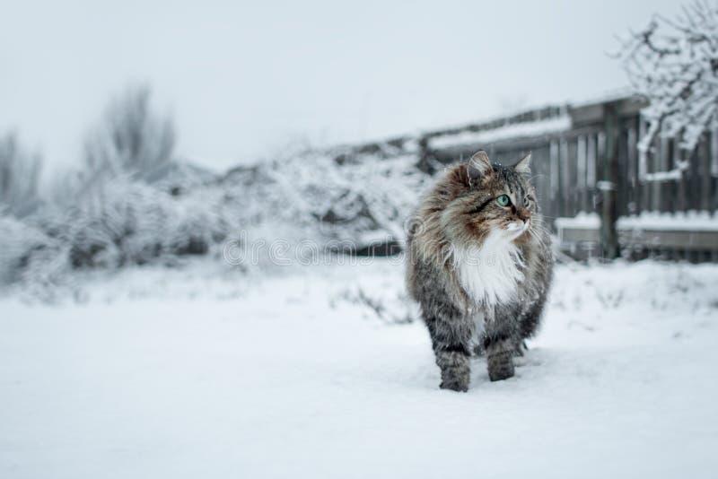 Den Siberian katten går i natur i vinter arkivbild
