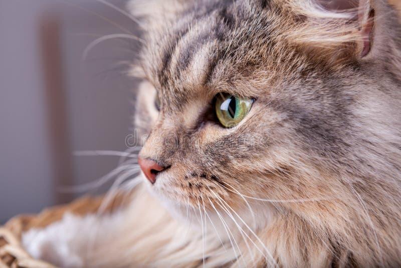 Den Siberian katten ser ut ur en korg till vänstersidan arkivbild
