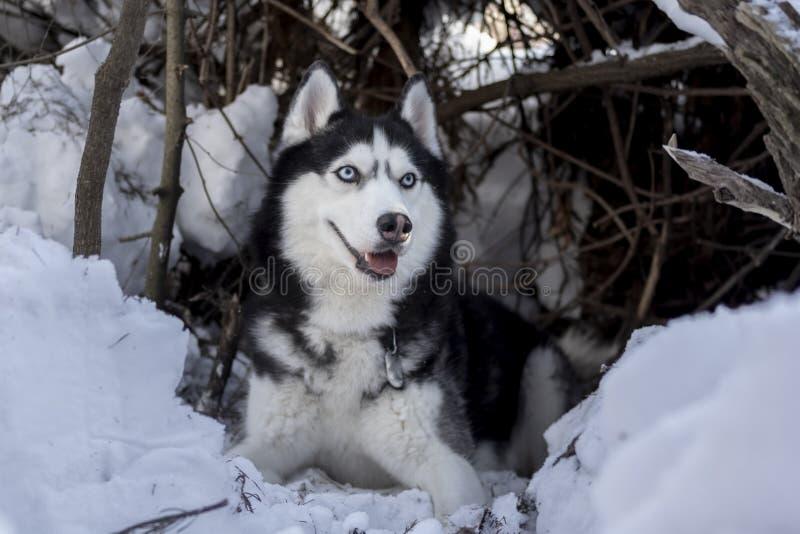 Den Siberian skrovliga hunden vilar på snö Förbluffa den skrovliga hunden med blåa ögon ligg i skyddet Vinterhusdjurstående arkivbilder