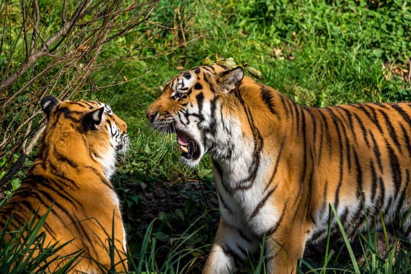 Den Siberian tigern, Pantheratigris altaica i zoo arkivfoto