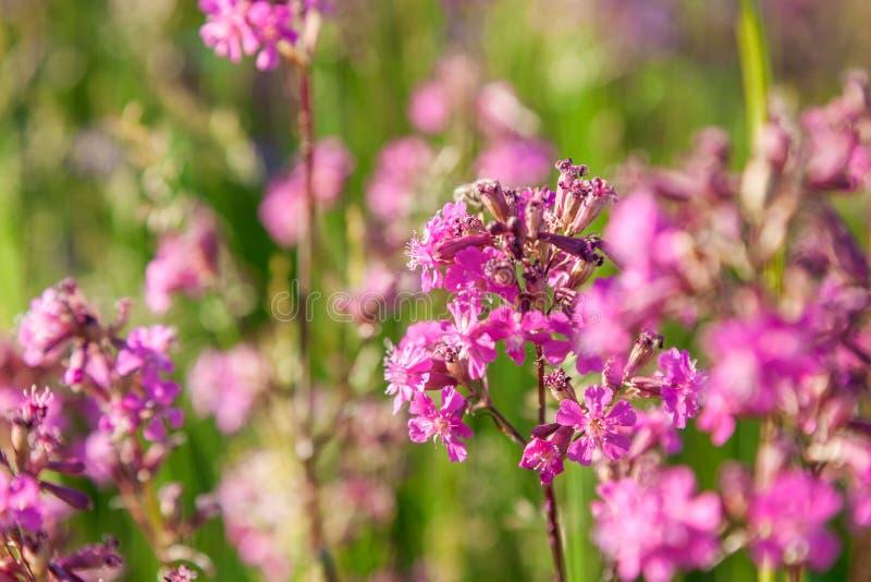 Den Silene viscariaen, den klibbiga catchflyen eller fuktig glim, är en blomma växt i familjcaryophyllaceaen royaltyfri fotografi