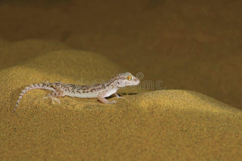 Den Sind sandgeckon, Crossobamon orientalis deserterar nationalparken fotografering för bildbyråer