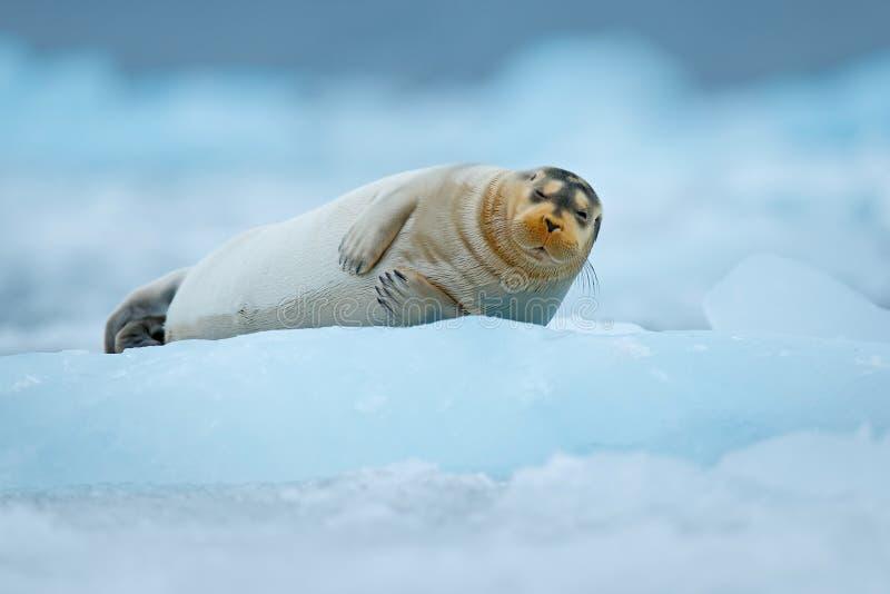 Den skäggiga skyddsremsan på blå och vit is i arktiska Finland, med lyfter upp fena arkivbild
