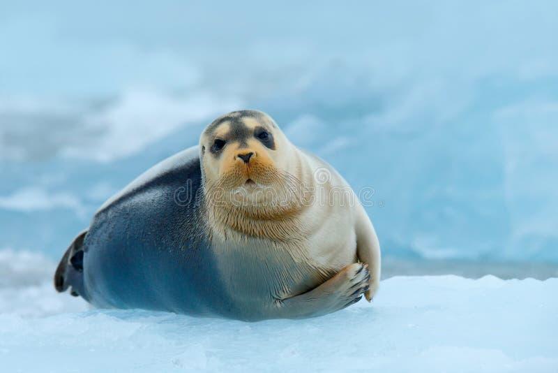 Den skäggiga skyddsremsan på blå och vit is i arktiska Ryssland, med lyfter upp fena royaltyfria bilder