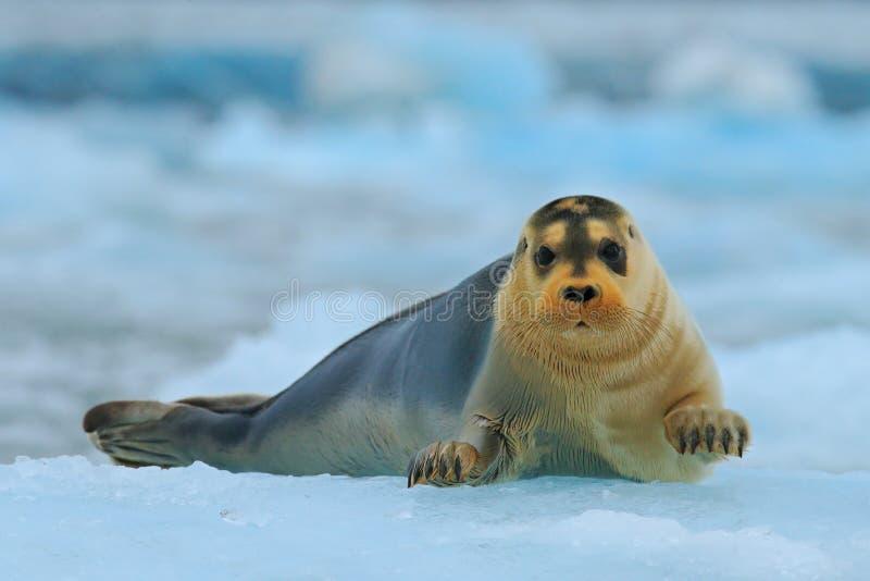 Den skäggiga skyddsremsan på blå och vit is i arktiska Svalbard, med lyfter upp fena royaltyfria foton