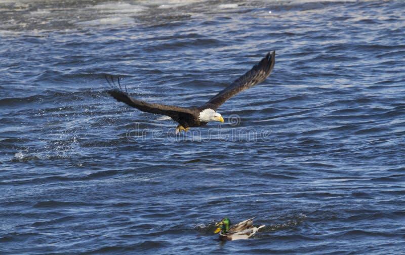 Den skalliga örnen i flykten med fisken arkivfoton