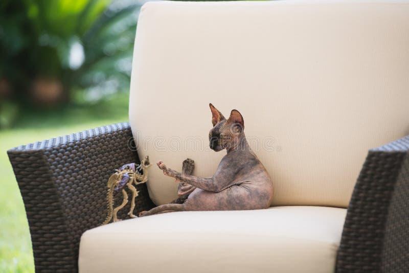 Den skalliga katten av den Sphynx aveln spelar i en fåtölj arkivfoto