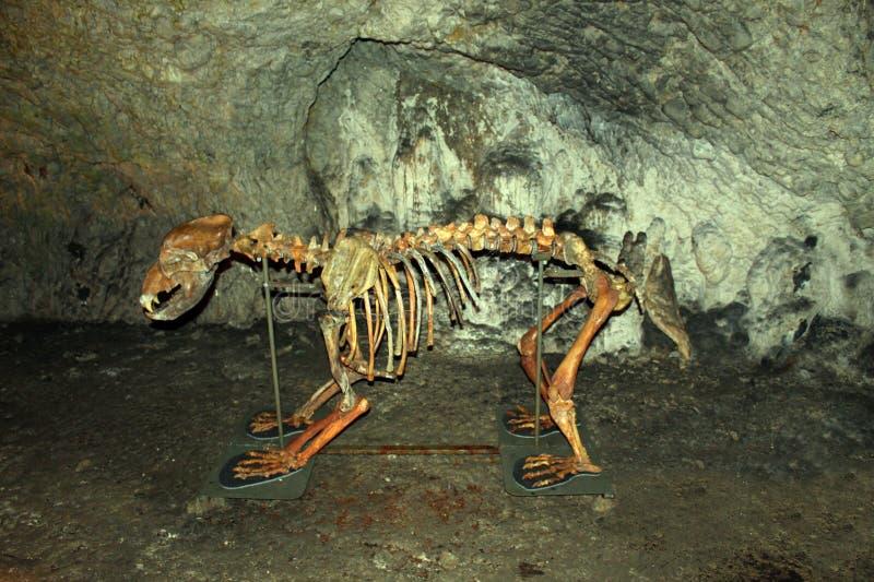 Den skelett- björnen arkivfoton