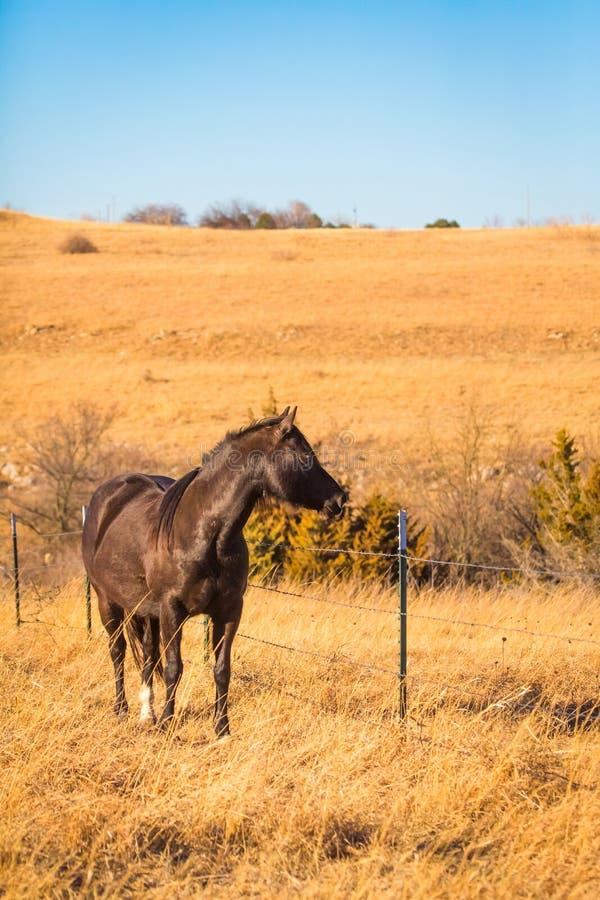 Den skinande hästen för mörk brunt betar in arkivfoto