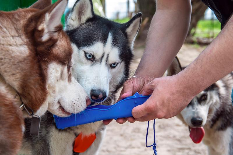 Den skrovliga hundkapplöpningen dricker vatten från en plast- bärbar för loppvatten för älsklings- hund flaska för drink Supare f royaltyfri foto