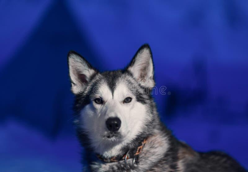 Den skrovliga hundsammanträdenärbilden av vitt ljus synar mot bakgrunden av en polar vinternatt på Spitsbergen Svalbard royaltyfria bilder
