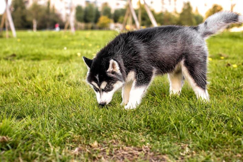 Den skrovliga valpen sniffar gräset arkivbilder