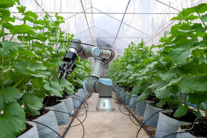 Den smarta roboten som installeras inom växthuset, ilar lantgård 4 arkivbilder