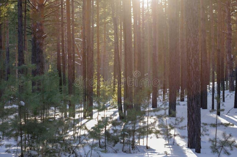 Den snöig skogen på en Sunny Winter Day med sörjer trädskuggor royaltyfri bild