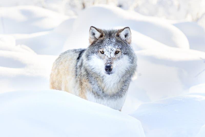 Den snöig vargen står i härlig vinterskog arkivfoton