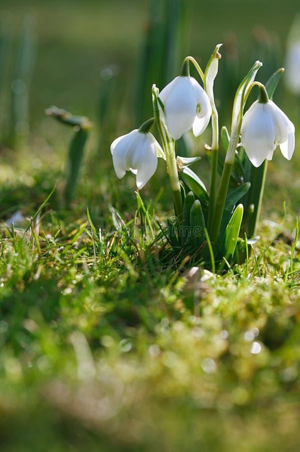 Den Snowdrop blomman i natur med dagg tappar arkivfoton