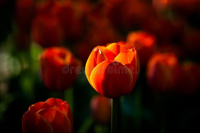 Den solbelysta röda och gula tulpan blommar på en blomsterrabatt arkivfoto